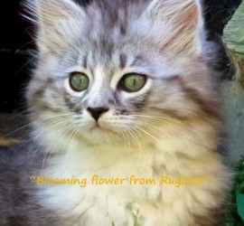 1 - a a  cucciolo di gatto siberiano