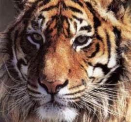 1 - a a - tigre del bengala